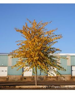 Mature Triumph Elm with Fall Color
