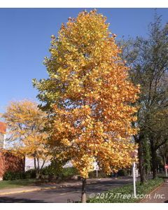 Mature Tulip Tree on Parkway with Yellow Fall Foliage