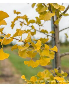 Windover Gold Ginkgo Gold Fall Foliage Closeup