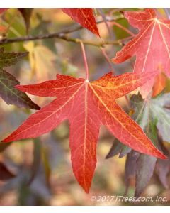 Worplesdon Sweetgum Red Fall Foliage Closeup