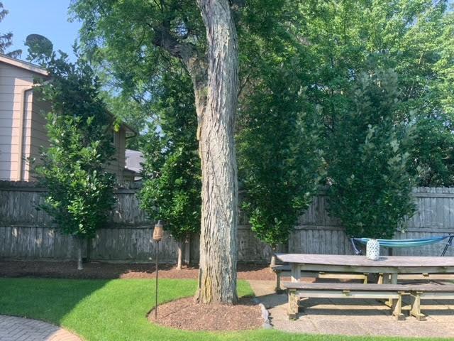 Regal Prince® Oak Privacy Trees