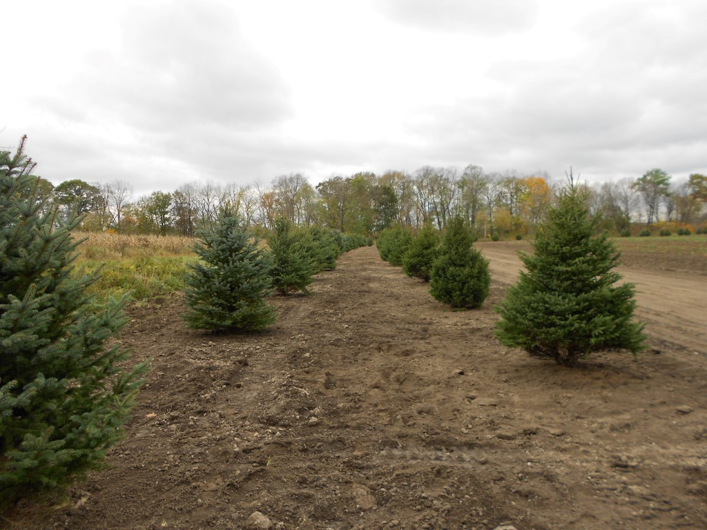 Evergreens for Privacy Screening & Windbreak