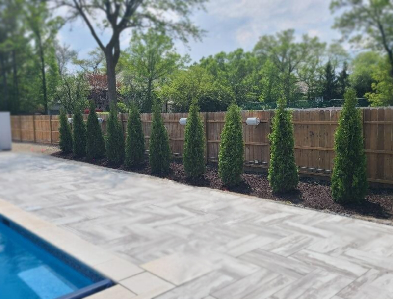 Emerald Green Arborvitae Privacy trees planted poolside