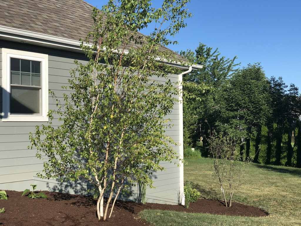 Whitespire Birch and Serviceberry for Side of House