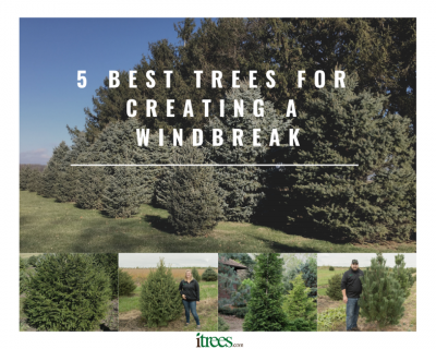 5 Best Trees for Creating a Windbreak