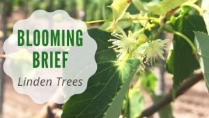 Blooming Brief: Linden Trees!