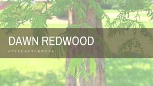 Tree of the Week: Dawn Redwood