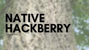 Tree of the Week: Native Hackberry