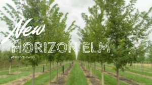Tree of the Week: New Horizon Elm
