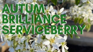 Tree of the Week: Autumn Brilliance Serviceberry