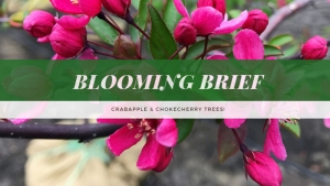 Blooming Brief: Crabapple & Chokecherry Trees