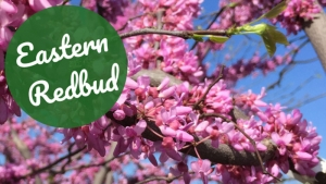 Tree of the Week: Eastern Redbud