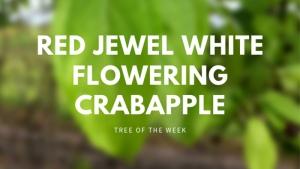 Tree of the Week: Red Jewel White Flowering Crabapple