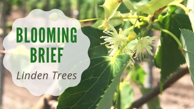Blooming Brief: Linden Trees!