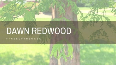 Tree of the Week: Dawn Redwood