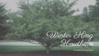 Tree of the Week: Winter King Hawthorn