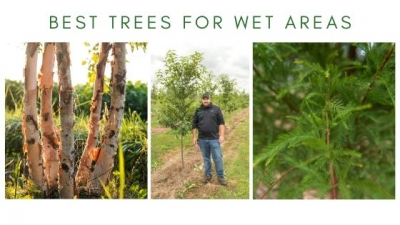 Best Trees for Wet Areas