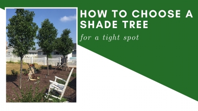 How to Choose a Shade Tree for a Tight Spot