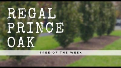Tree of the Week: Regal Prince® Oak