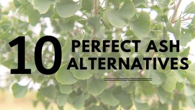 10 Perfect Ash Tree Alternatives