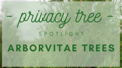 Privacy Tree Spotlight: Arborvitae Trees