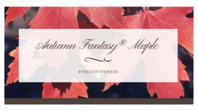 Tree of the Week: Autumn Fantasy Maple