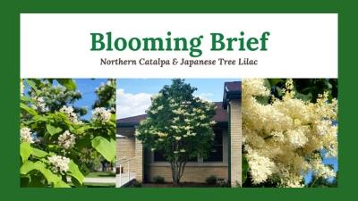 Blooming Brief: Northern Catalpa & Japanese Tree Lilac