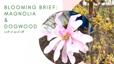 Blooming Brief Week of April 6th: Magnolia Trees & Dogwood Trees