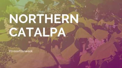 Tree of the Week: Northern Catalpa