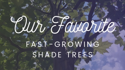 Our Favorite Fast-Growing Shade Trees