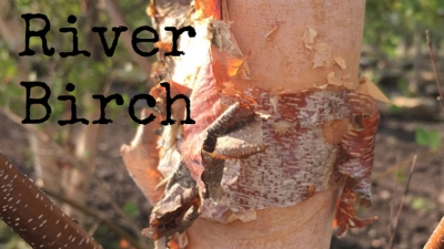 Tree of the Week: River Birch