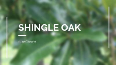 Tree of the Week: Shingle Oak