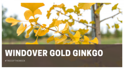 Tree of the Week: Windover Gold Ginkgo