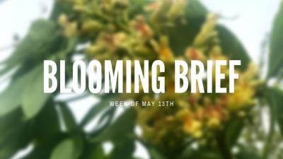 Blooming Brief: Horsechestnut Trees!