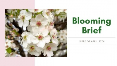 Blooming Brief Week of April 27th: Ornamental Pear, Serviceberry & Redbud