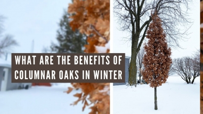 What are the Benefits of Columnar Oaks in Winter?