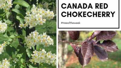 Tree of the week: Canada Red Chokecherry
