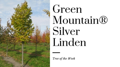 Tree of the Week: Green Mountain® Silver Linden