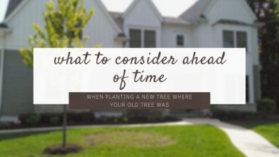 What Should I Consider Before Planting a New Tree Where My Old Tree Was?