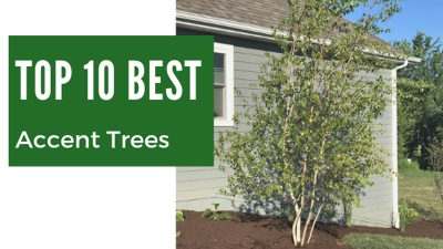 Top 10 Best Accent Trees