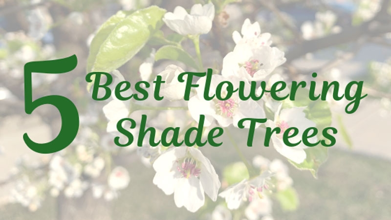 5 Best Flowering Shade Trees