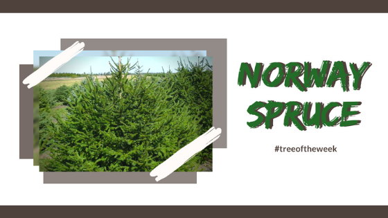 Tree of the Week: Norway Spruce