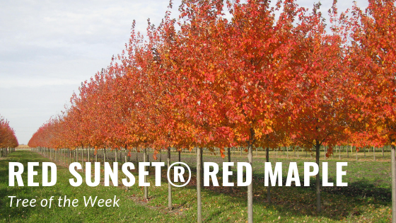 Tree of the Week: Red Sunset Red Maple