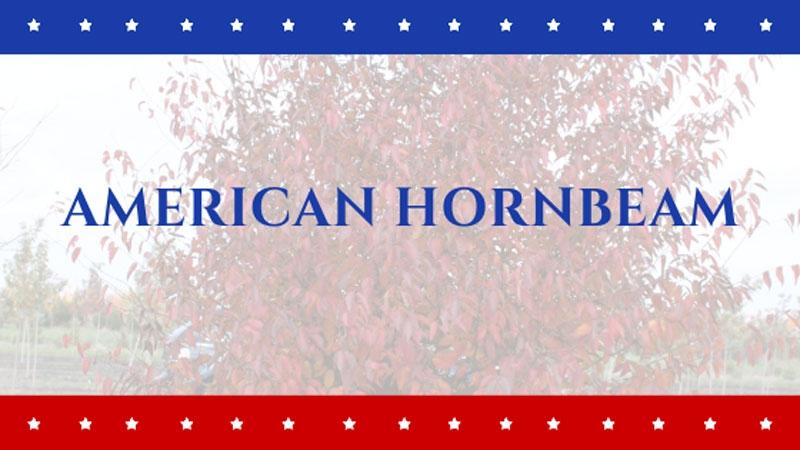 Tree of the Week: American Hornbeam