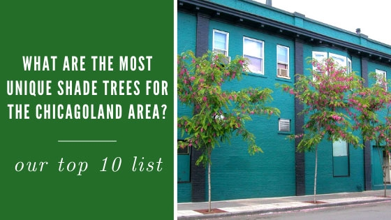 What are the Most Unique Shade Trees for the Chicagoland Area?
