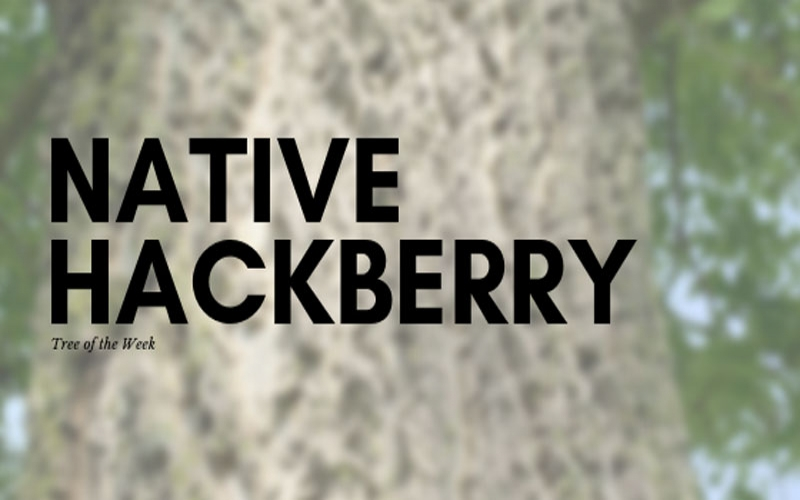 Tree of the Week: Native Hackberry
