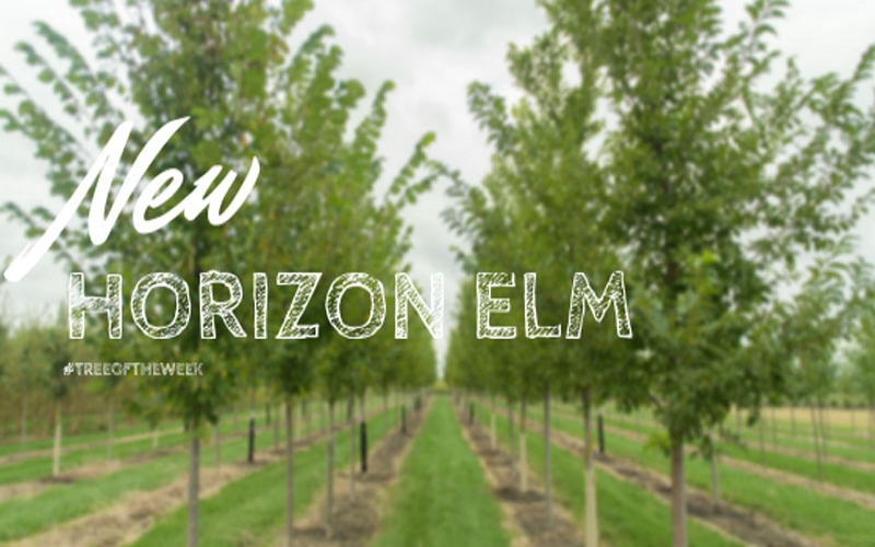 Tree of the Week: New Horizon Elm