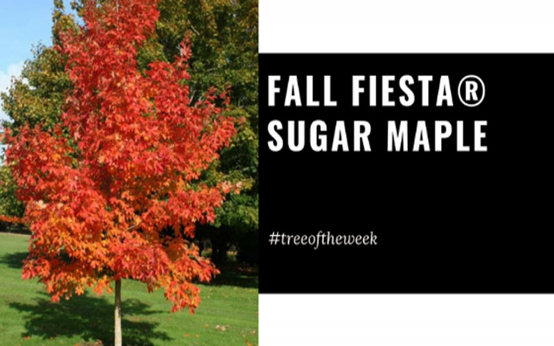 Tree of the Week: Fall Fiesta® Sugar Maple