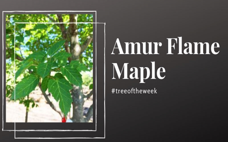 Tree of the Week: Amur Flame Maple