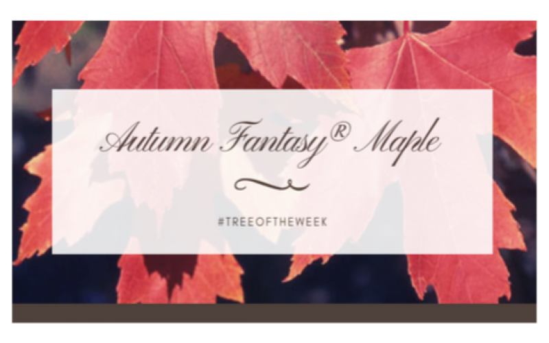 Tree of the Week: Autumn Fantasy Maple